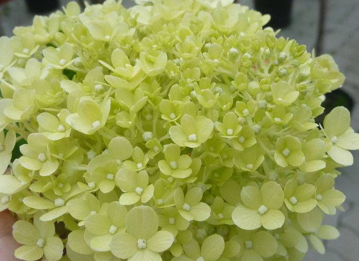 hydrangea paniculata die rispenhortensie 39 limelight 39. Black Bedroom Furniture Sets. Home Design Ideas