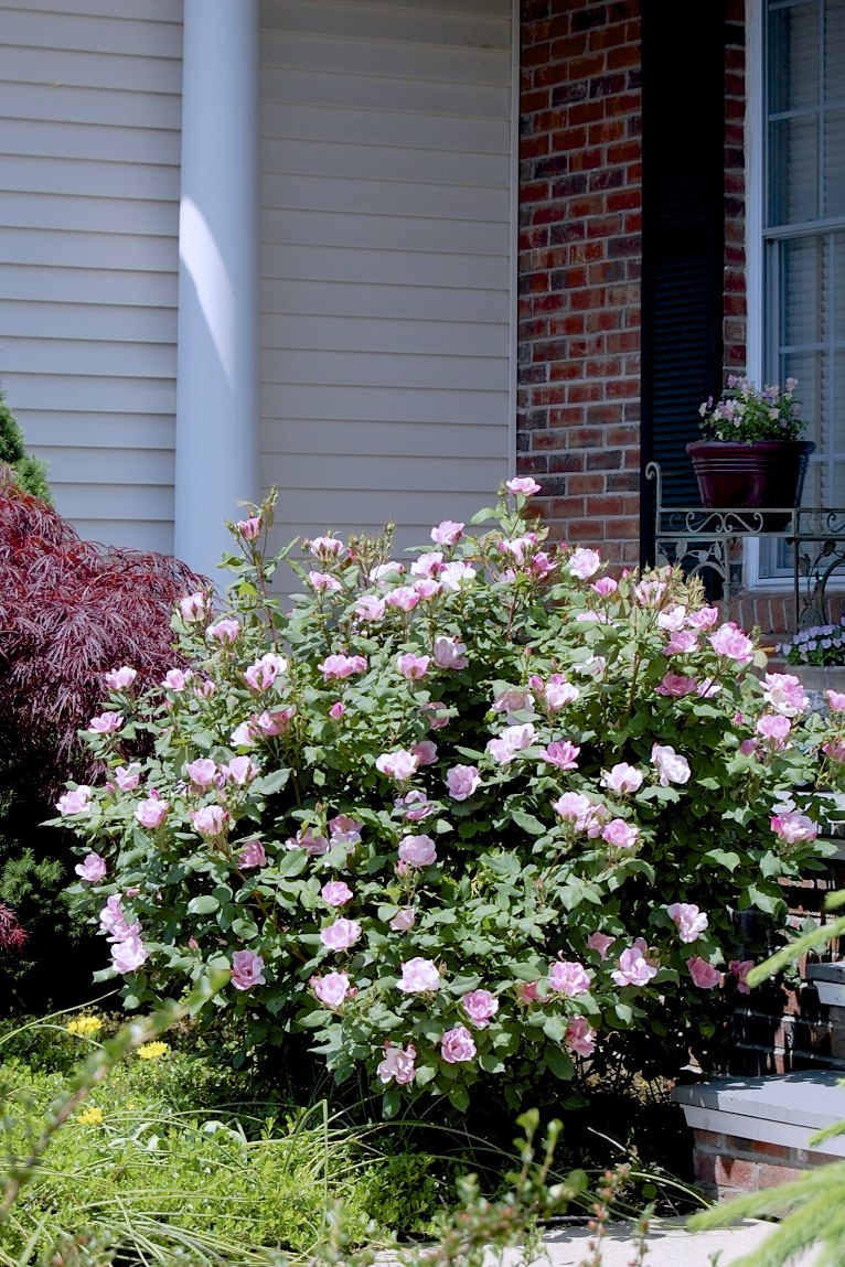 My Weeds Are Very Sorry: June is for Roses