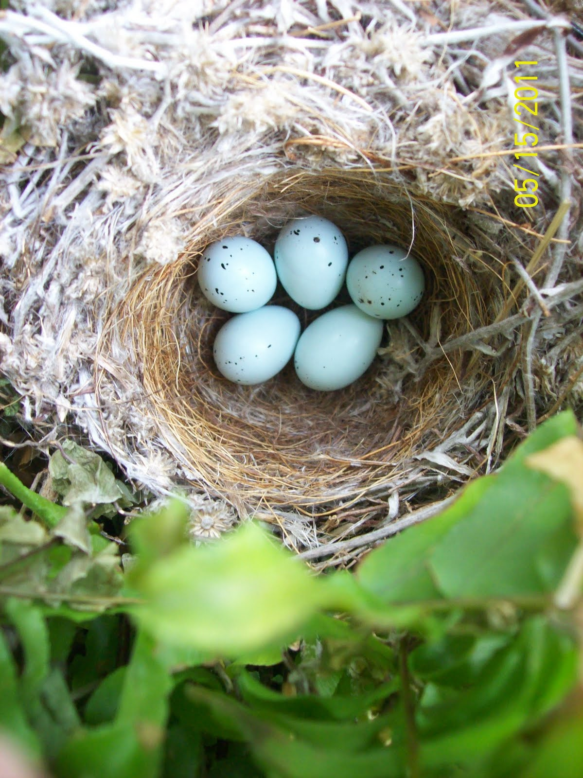 Purple Finch Nest Crumbs of Happiness: G...