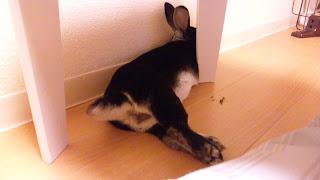 隙間で寝転がるうさぎ、ミニレッキス