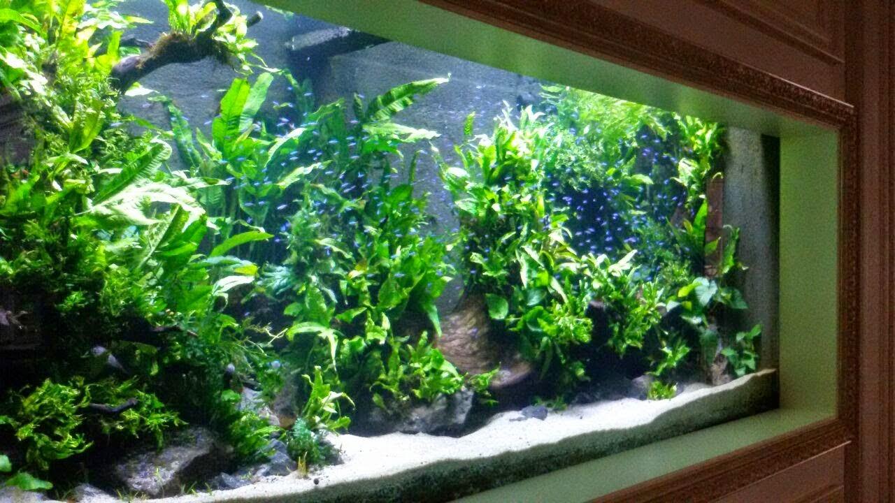 BIOTA AQUATIC PLANT: JUAL TANAMAN AQUASCAPE MICROSORUM ...