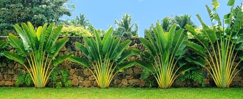 Palmeira para jardim preço