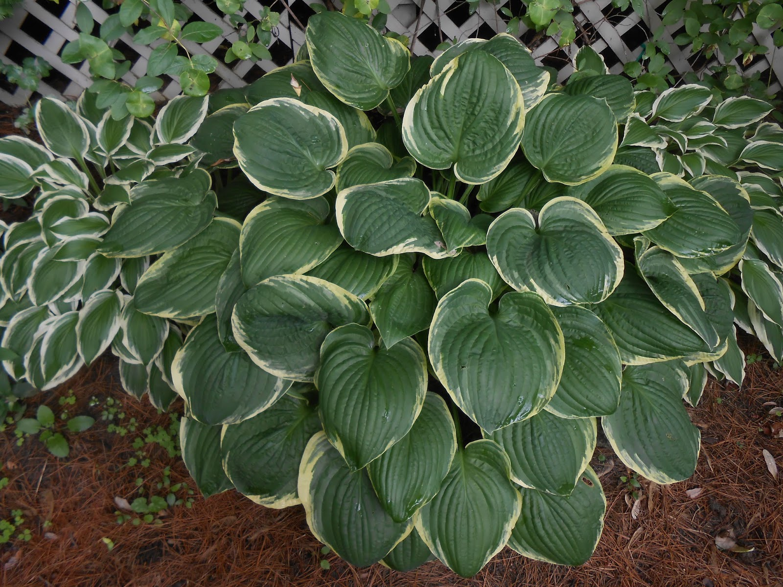 Sproutsandstuff: 6 Top Hosta Myths
