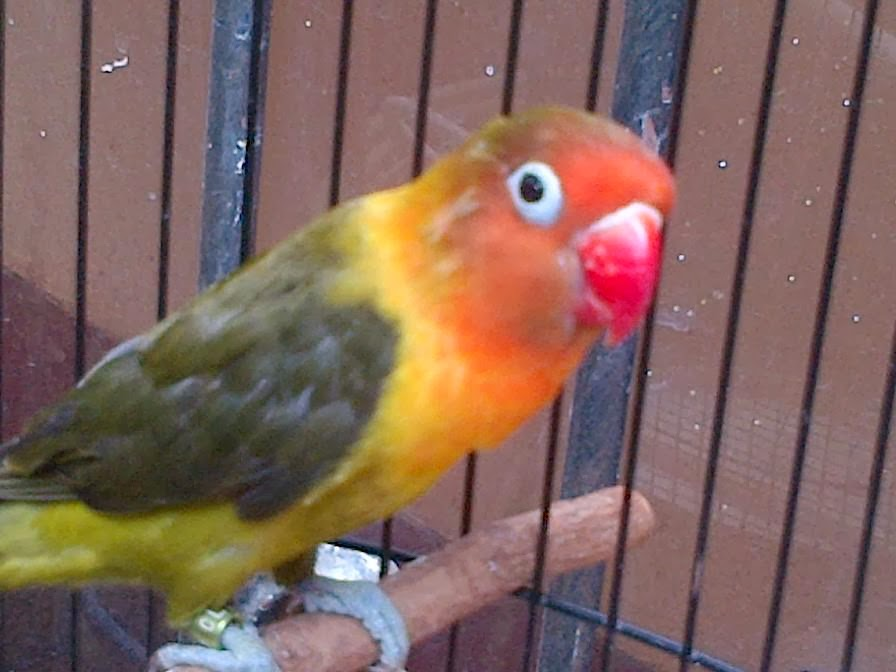 om hoby update daftar harga burung lovebird 2014