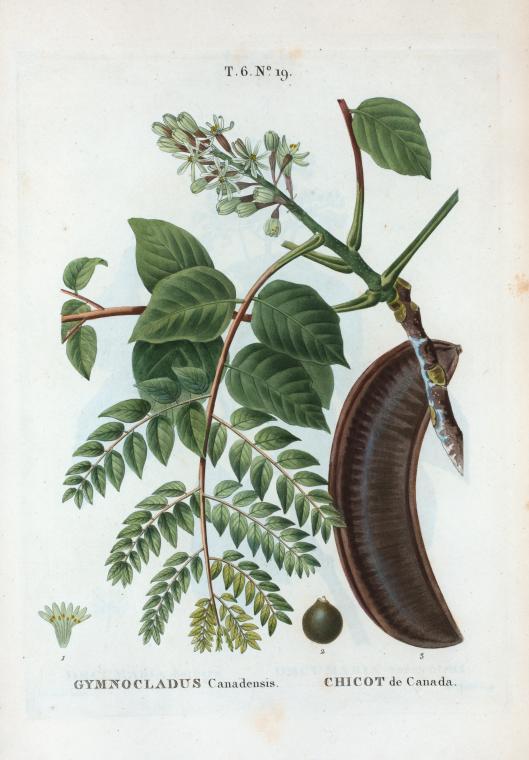 Бундук двудомный, ботанический рисунок