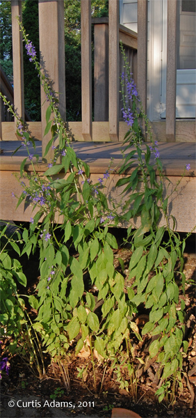 What Plants Will Grow Under A Deck : Native plants with adams garden american bellflower update