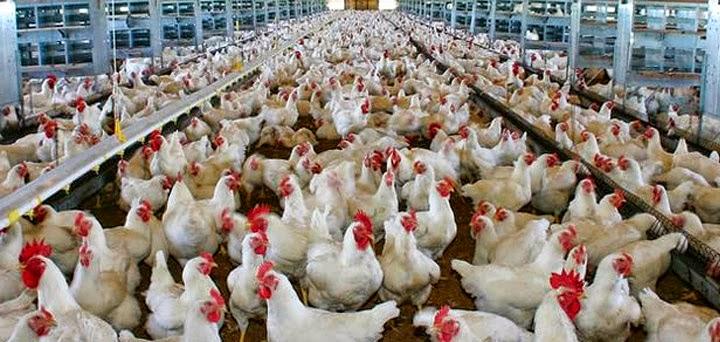 FDA admite carne de pollo contiene arsénico