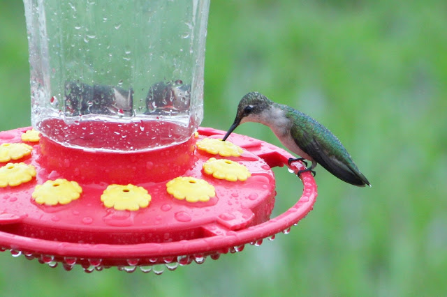 Rainy Day Hummingbird