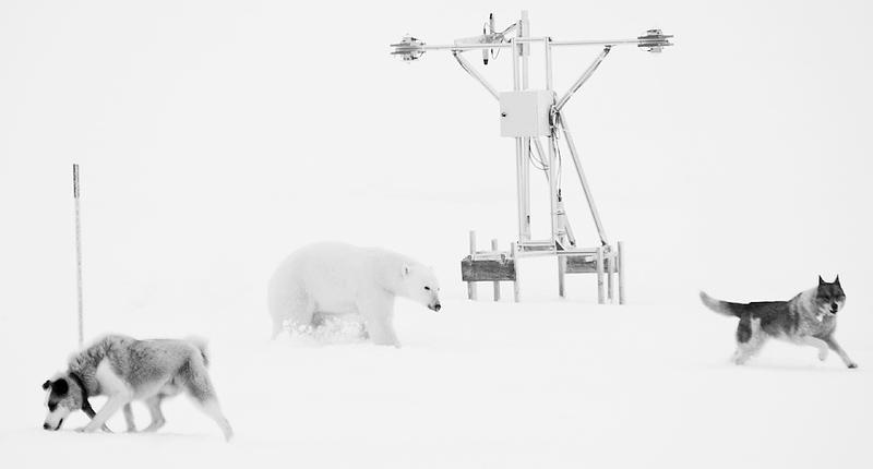 jääkaru ja koera võitlus Arktikas, Fight between Polar bear and dog in the Arctic