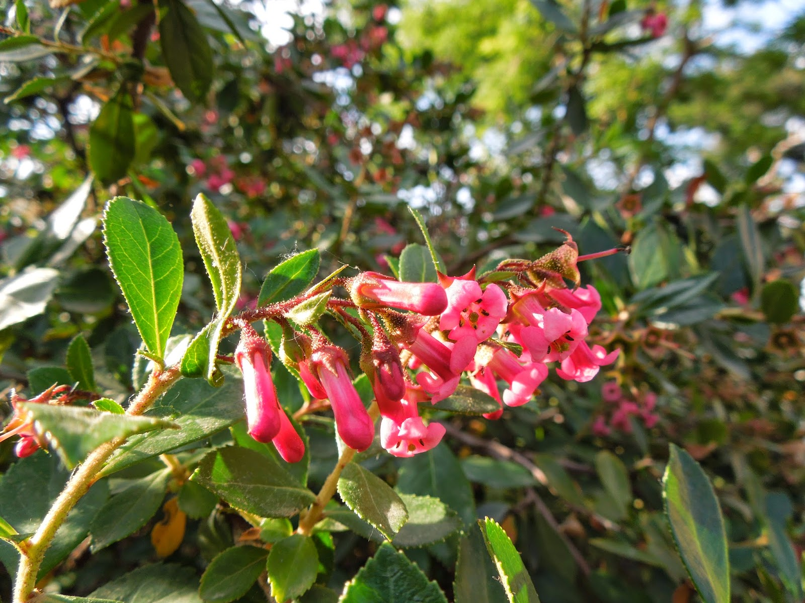 Dos arbustos ornamentales bot nic serrat for Tipos de arbustos ornamentales