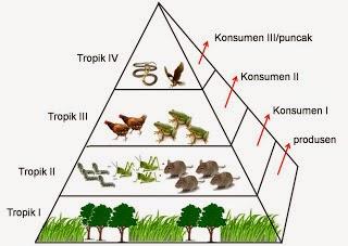 piramida makanan dan rantai makanan