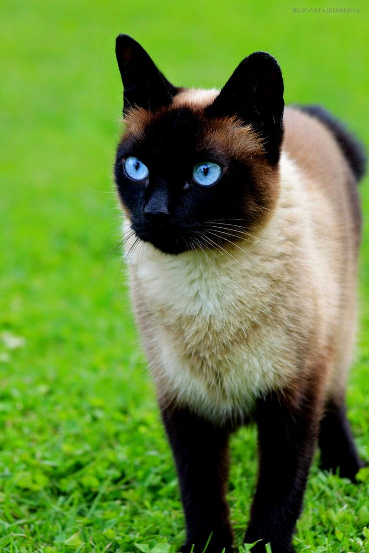 Amazing cat with blue eyes