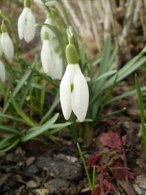 Sněženky za loňského jara