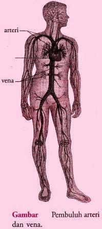 Macam-Macam Pembuluh Darah, Pembuluh nadi (arteri), pembuluh balik (Vena)