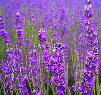 french lavender and vanilla sugar for elegant cakes and bakes - French Lavender
