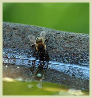 Honigbiene an der Vogeltränke