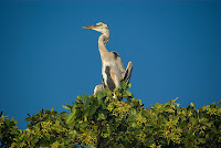 Heron in Mangrove