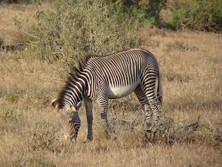 Buy wall art canvas of Grevys Zebra