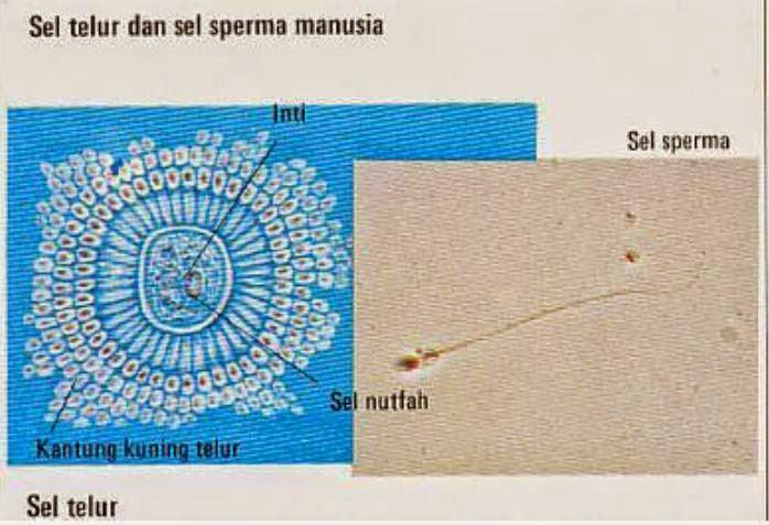 pembuahan sel telur dan sperma