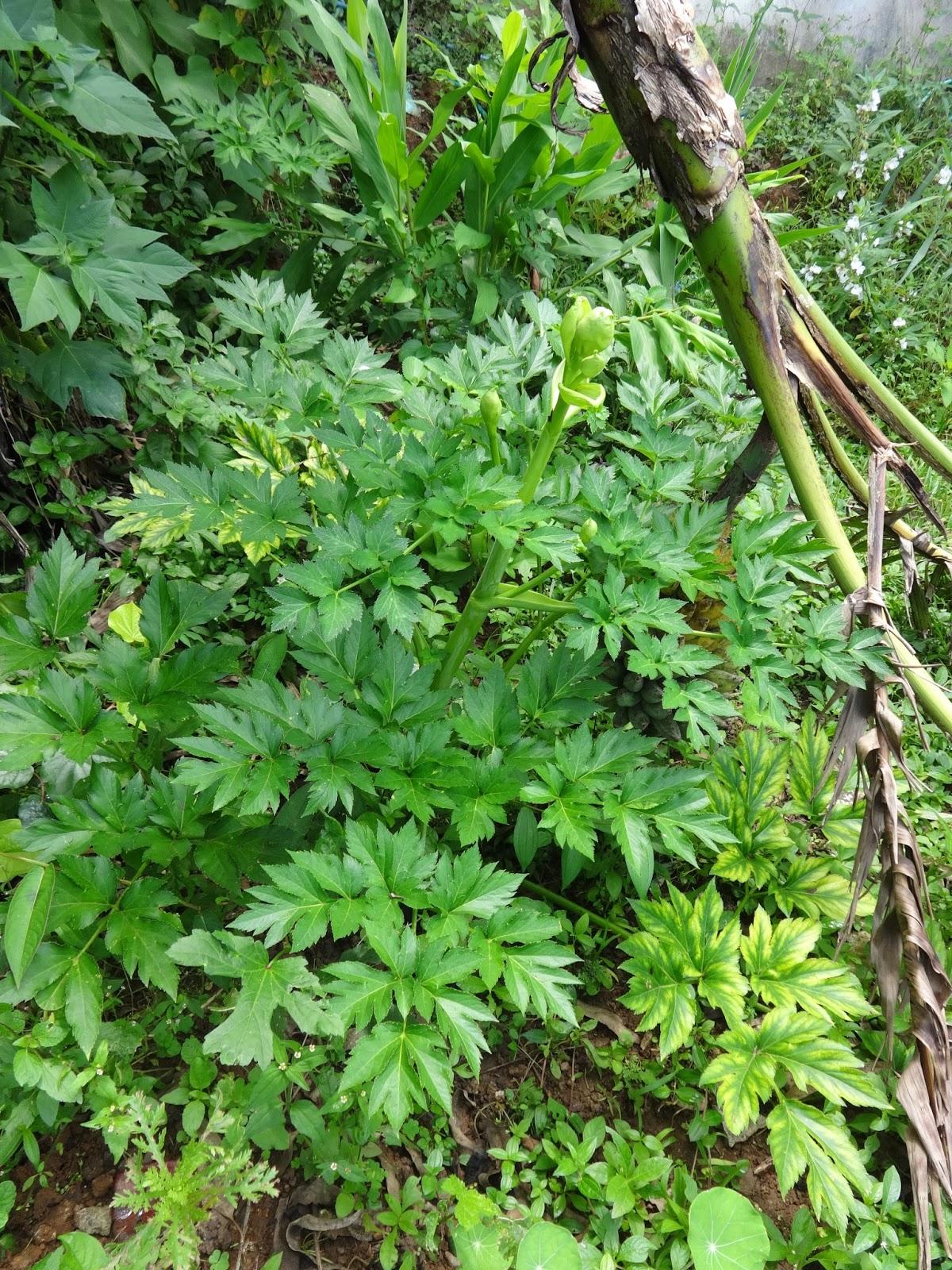 Ashitaba planta