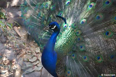 peacock palo alto