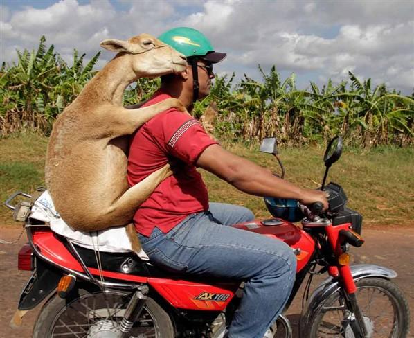 REIR  O ESTIRAR LA COMISURA DE LOS LABIOS - Página 2 Cabra-moto