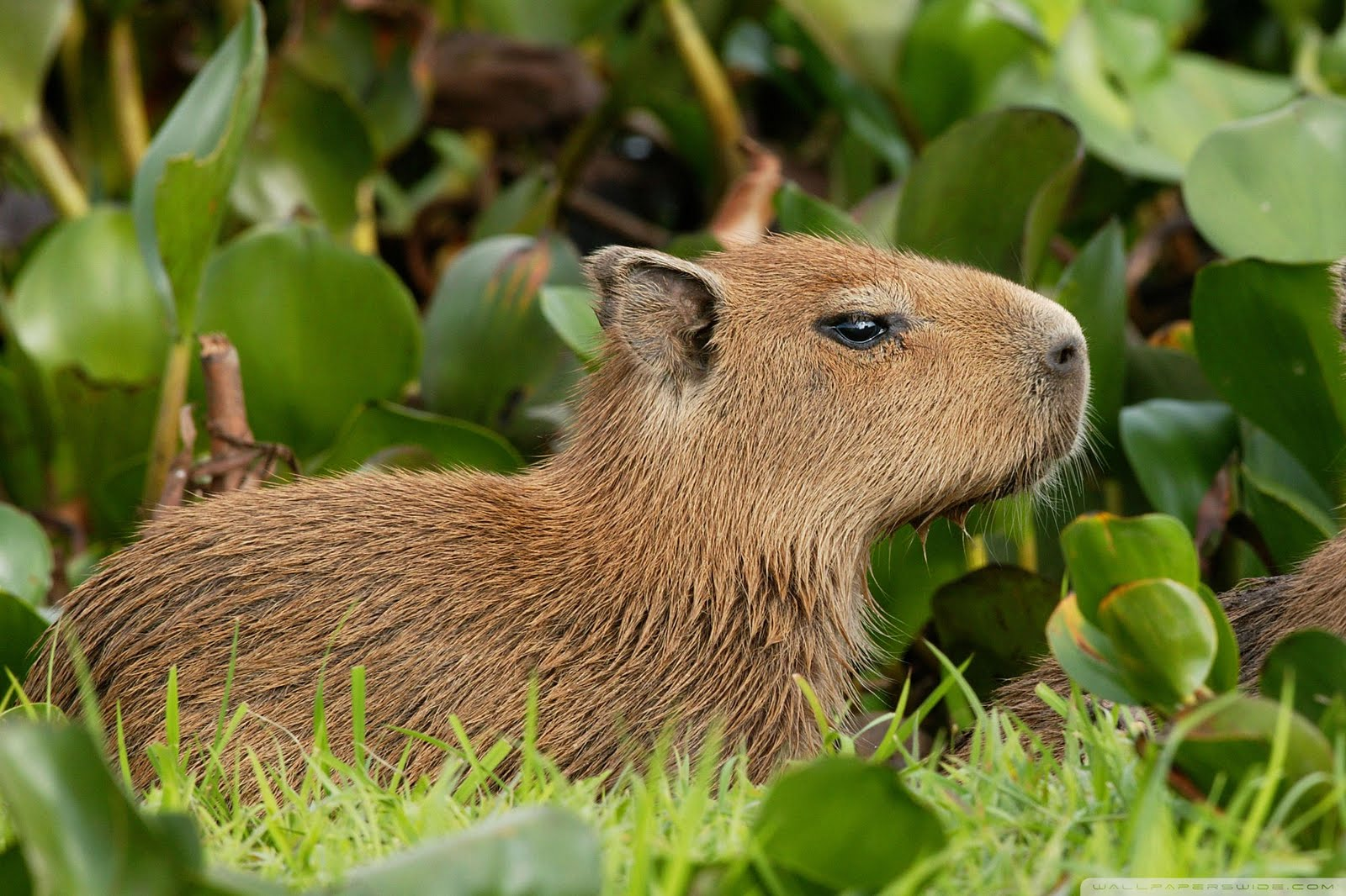 Free Cool Wallpapers Capybara Wallpapers