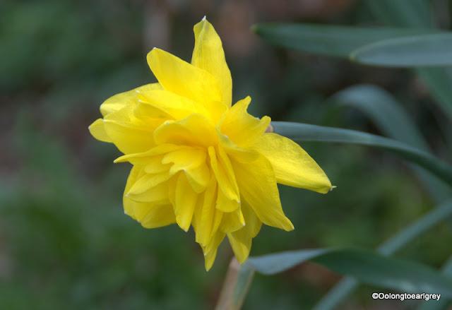 UK Daffodils
