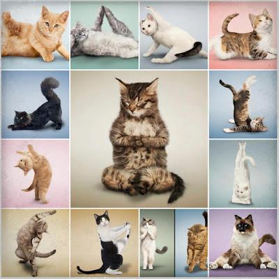 Gatos em posição de Yoga