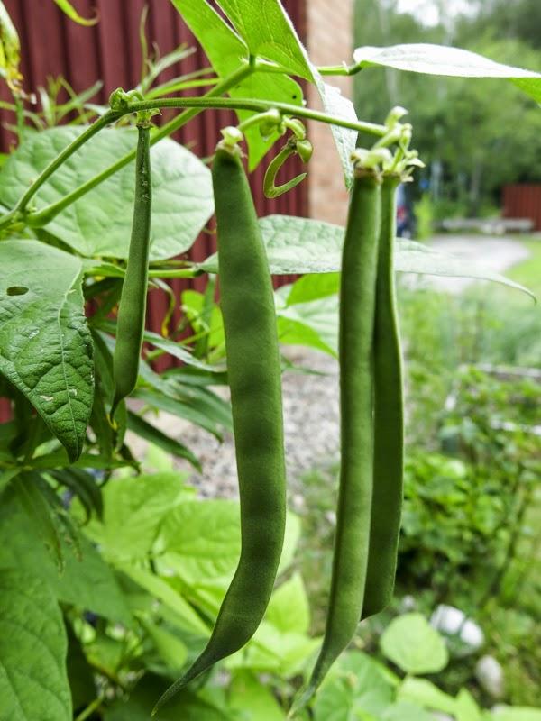bönor, beans