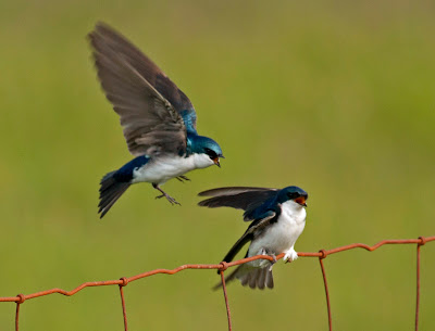 Two Tree Swallows one flying and one perched on a rusty red wire fence