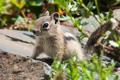 Golden-mantled Ground Squirrel, Emerald Lake