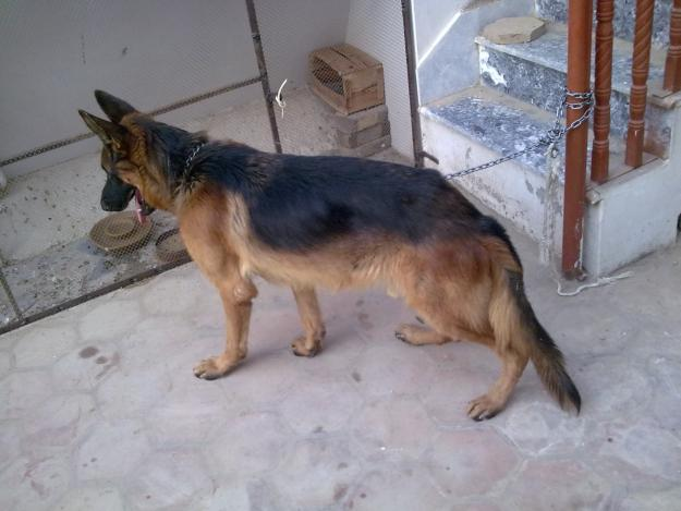 66520503_1-Pictures-of-dogs-for-sale-in-pakistan.jpg