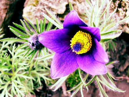 Benefits Of Anemone Pulsatilla For Health