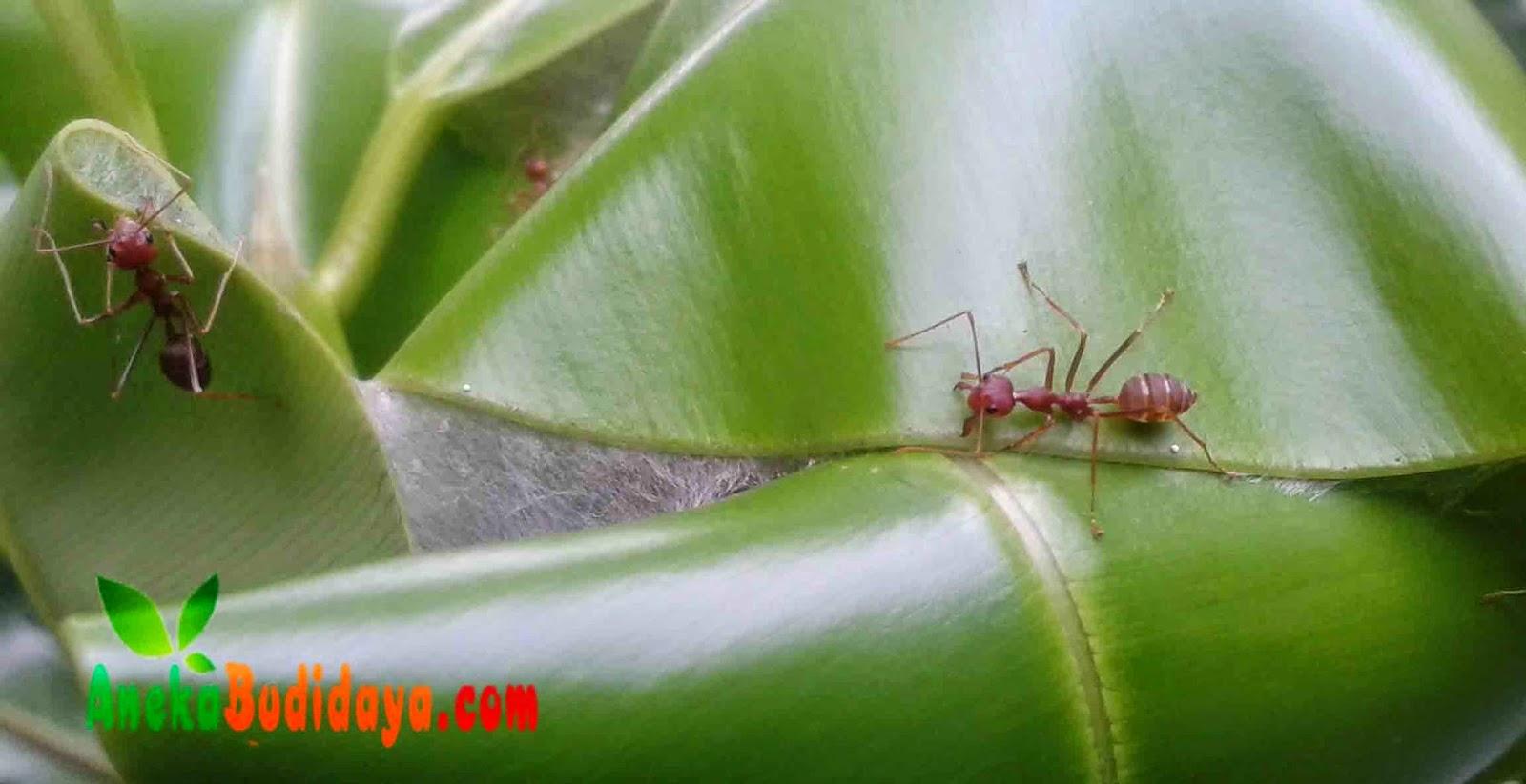 Mengenal Semut Rangrang Penghasil Kroto