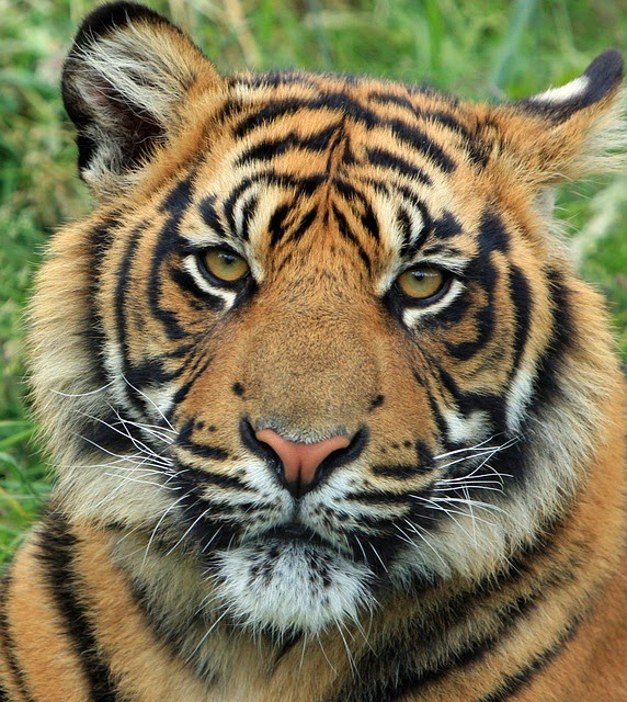 World of Wildlife: Facts about Tigers