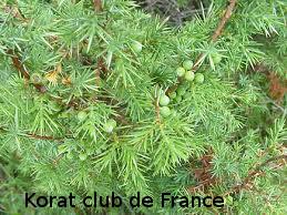 Genevrier commun Juniperus commun
