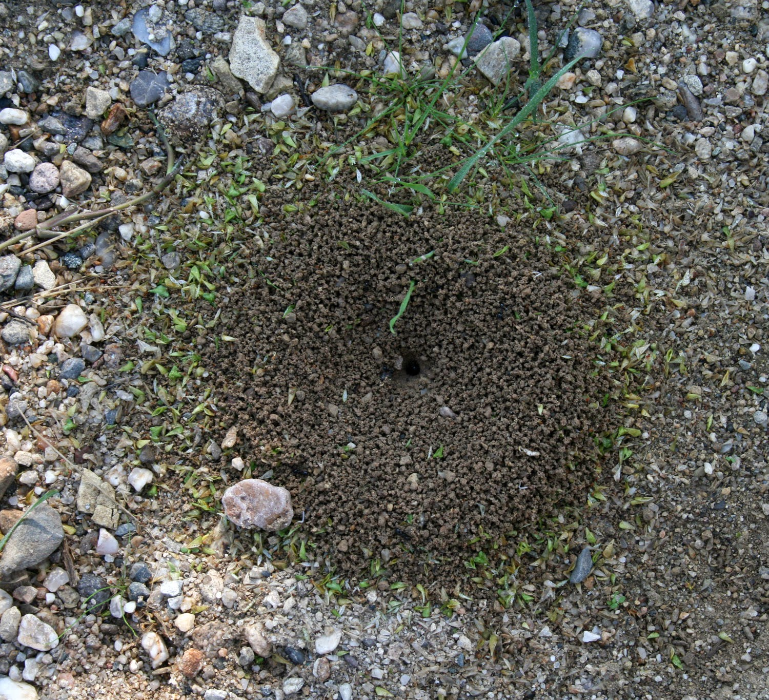 Grass bits around an ants nest