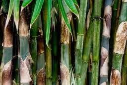 Manfaat Rebung Bambu Untuk Kesehatan