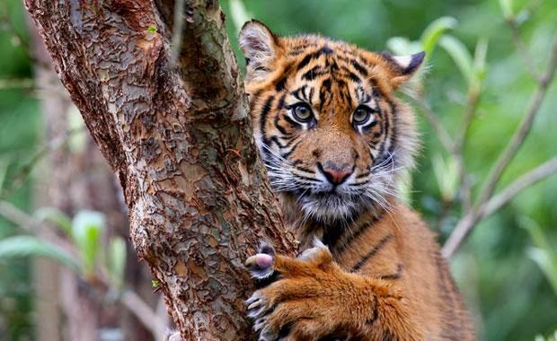 Sumatran tiger animal hd wallpapers