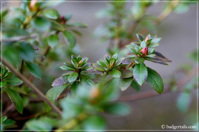 Azalea flower buds