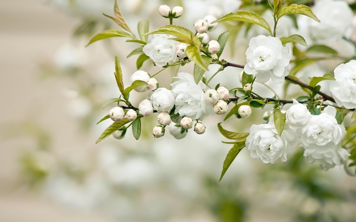 White Flowers Widescreen HD Wallpaper 7