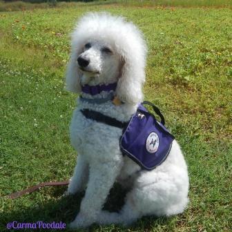 poodle in service vest
