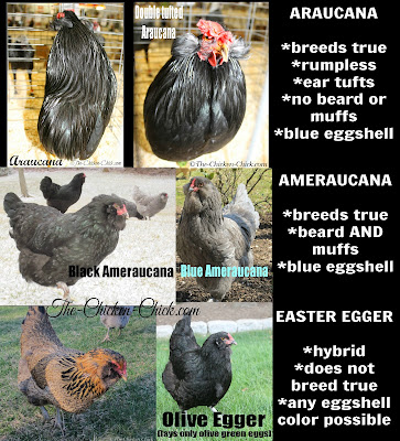 The differences between an Araucana, Ameraucana and an Easter Egger chickens.