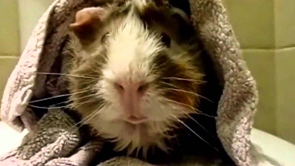 This Is Hilarious. This Guy Interviews His Guinea Pig. I'm In Tears!