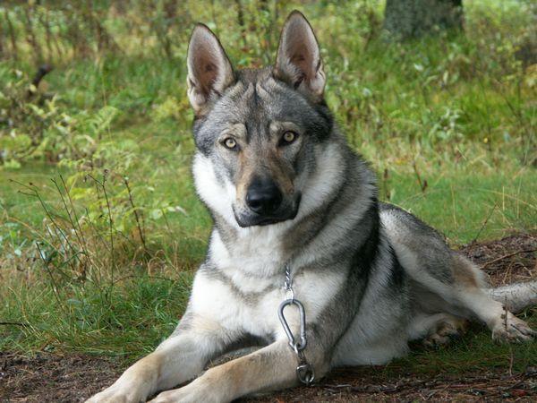 German Shepherd Wolf Hybrid Dogs