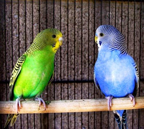 Bisnis Penangkaran dan Jual Burung Hias Parkit