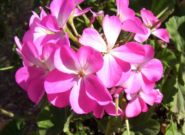 Flor de geranio simple