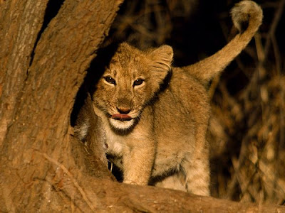 Cute Baby lion pictures