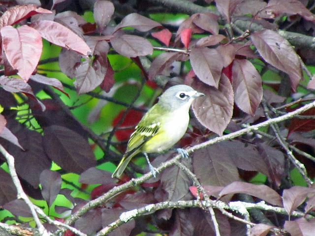 blue headed vireo one
